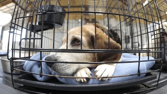 2019-03-18 13_35_52-Un video per mostrare il dolore dei cani in un laboratorio francese - Animali -
