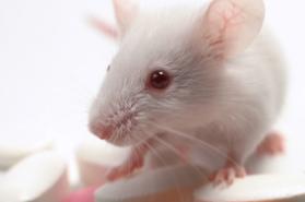 2019-03-18 15_24_54-Essais sur les animaux _ PETA France appelle à boycotter le Téléthon