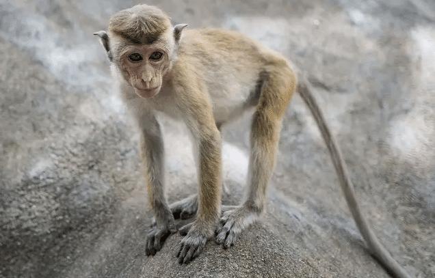 Paris_ Des expériences sur des singes dans un hôpital dénoncées par une a