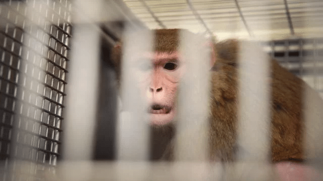 le terrible sort de singes en laboratoire à Paris _ www.cnews.fr